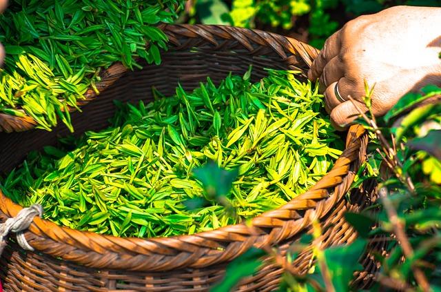 緑茶 お茶 悪玉コレステロール値 低下