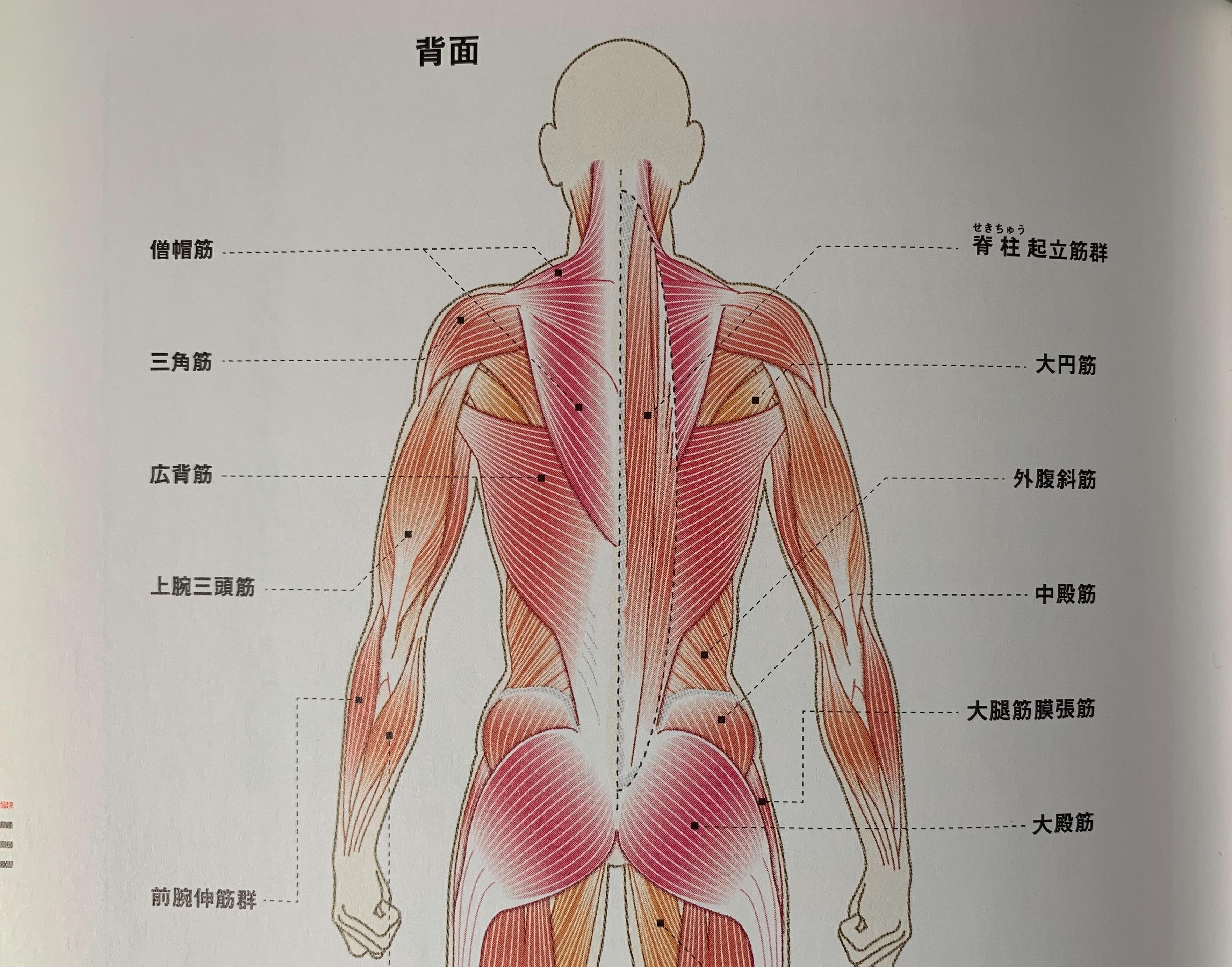 名称 筋肉 背中 の
