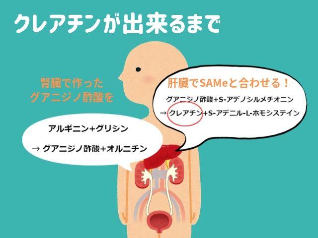 【図解】筋トレの効果を高める必携サプリ「クレアチン」とは?代謝の経路や材料までを解説