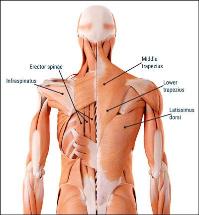米国運動評議会(ACE)の研究成果「部位別 背中の筋トレで効果的な種目」とは?